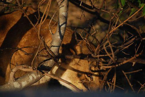 Lion carl